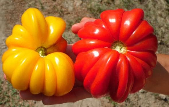 помидор сорта Красавей Лотарингии