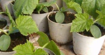 Рассада огурцов выращивание в домашних условиях