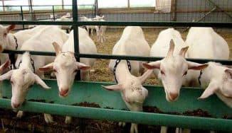 чем кормить козу чтобы было больше молока