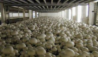 выращивание грибов шампиньонов