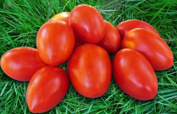 помидор Акварель