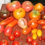 Самые лучшие сорта томатов для выращивания в открытом гркунте