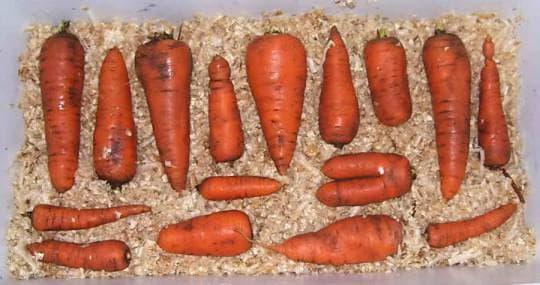 Лучшие сорта моркови для хранения на зиму