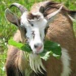 Как и чем ем кормить козу, чтобы было больше молока?