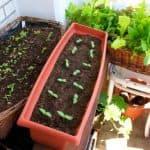 Как вырастить шпинат на подоконнике?