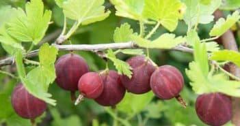 ягода на обрезанном кружовнике
