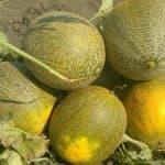 Дыня Колхозница: особенности выращивания в открытом грунте