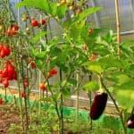 Когда и как правильно высаживать рассаду в теплицу из поликарбоната
