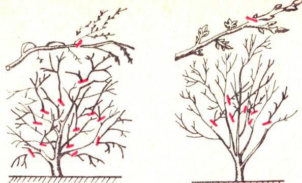 регулирующая обрезка деревьев