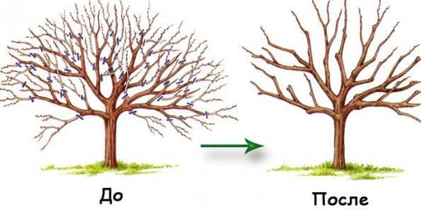 восстановительная обрезка деревьев
