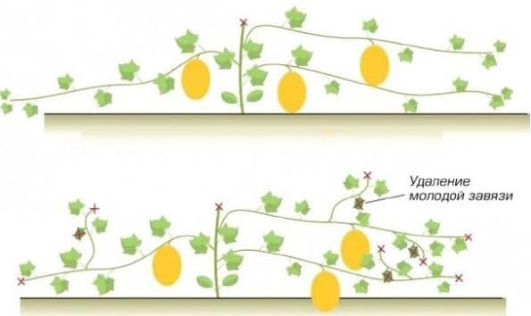 Выращивание дыни в открытом грунте, посадка, агротехника