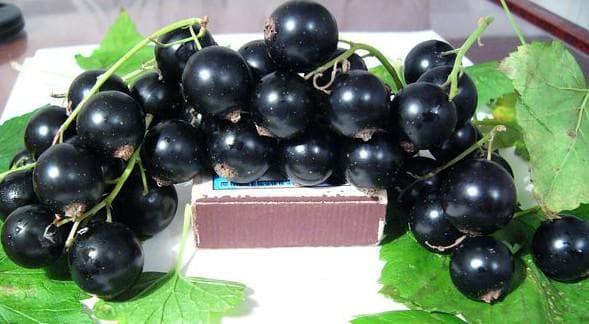 Сорта черной смородины с крупными ягодами