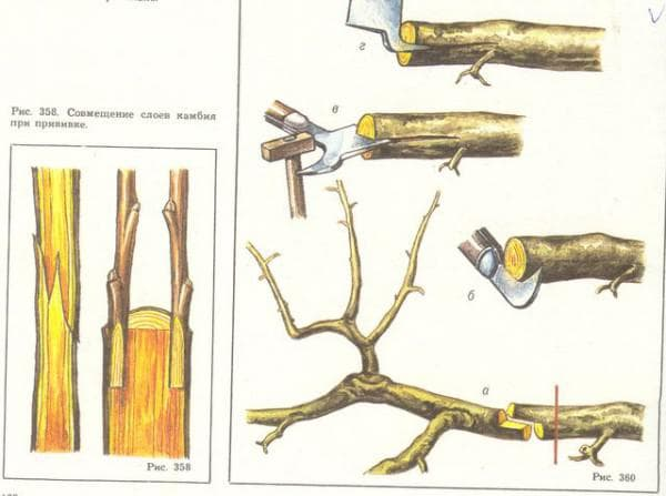прививки для плодовых деревьев