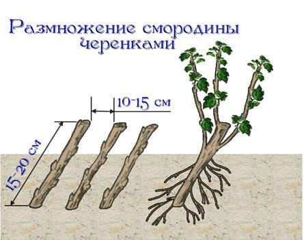 черенки смородины в земле