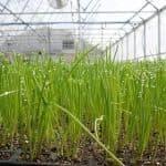 Особенности выращивания зелени в теплице как бизнеса