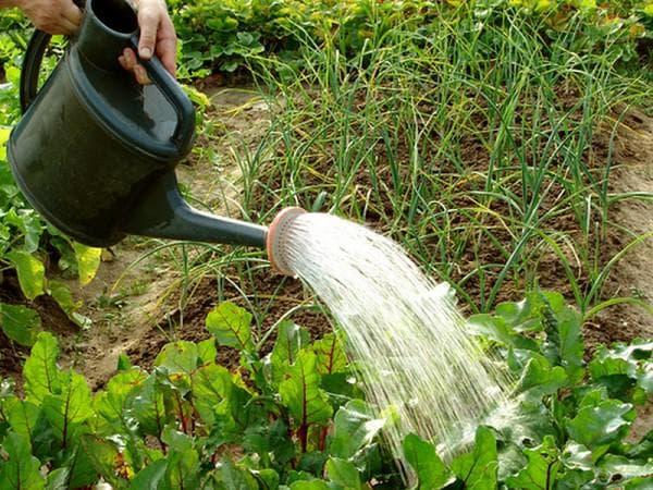 полив репы на огороде