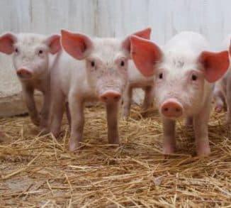 маленькие свиньи и корм