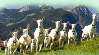 Зааненские козы: описание породы, содержание и уход