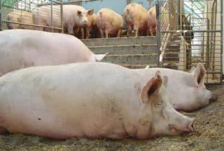 большие свиньи едят корм