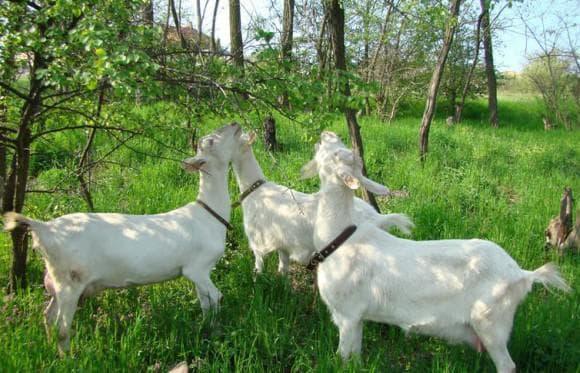козы на пастбище