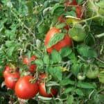 нужно ли предварительно замачивать семена томатов перца