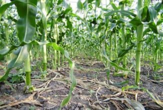 Выращивание кукурузы в открытом грунте