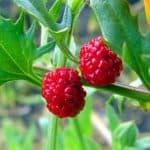 Особенности выращивания земляничного шпината из семян