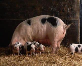 вирусный гастроэнтерит свиней