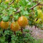 Список плодовых деревьях и кустарниках для садового участка