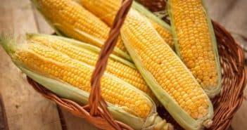 Кукуруза выращивание и уход в открытом грунте