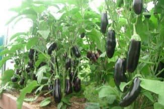 выращивание баклажанов в теплице