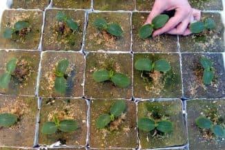 выращивание рассады арбузов