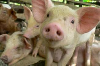 везикулярная болезнь свиней
