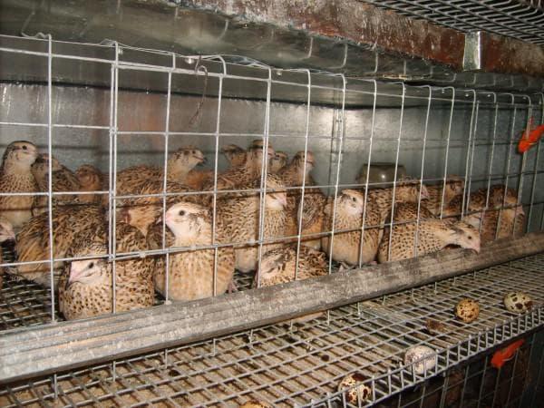 птицы перепела для дома