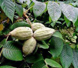 Маньчжурский орех: выращивание, как сажать, когда обрезать