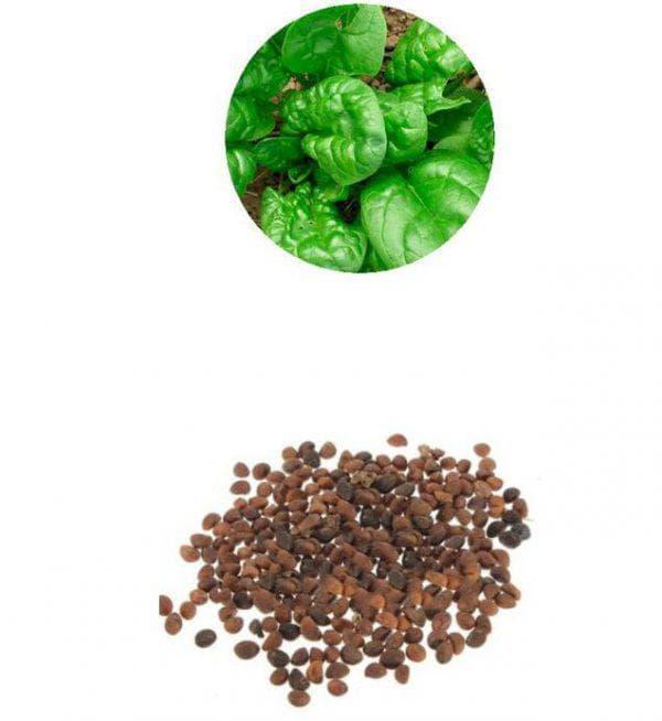 Шпинат: выращивание из семян, когда сажать на рассаду