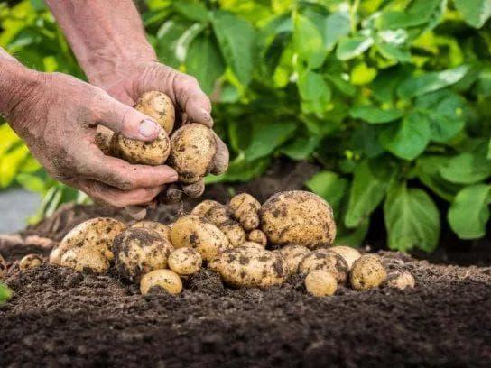 удобрение картофеля помётом