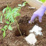 как вылечить смородину от мучнистой росы