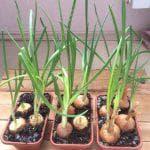 Яровой чеснок выращивание и уход