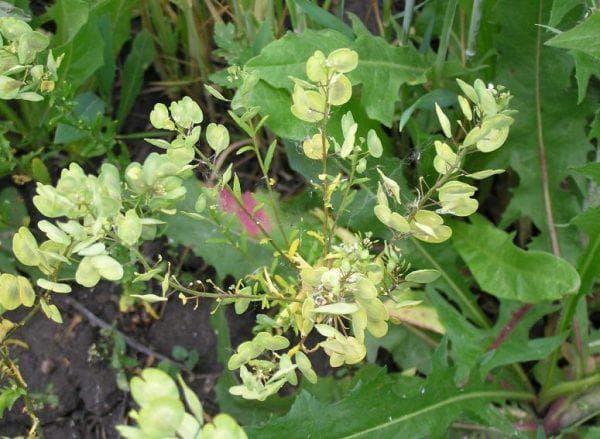 Сорняк ярутка полевая