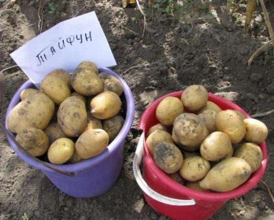 картофель Тайфун