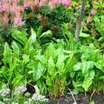 выращивание репы в открытом грунте