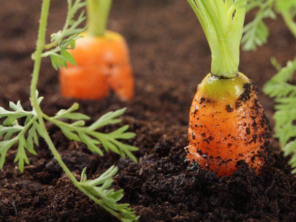 морковь на огороде