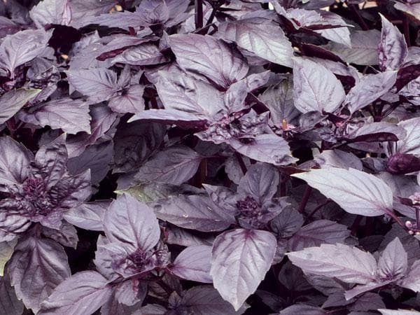 Базилик фиолетовый: выращивание из семян, нужно ли пикировать
