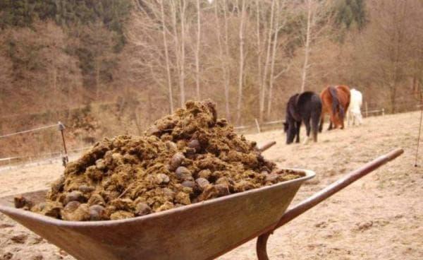 Лошадиный навоз как удобрение