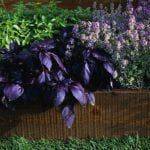 как вырастить сельдерей листовой из семян