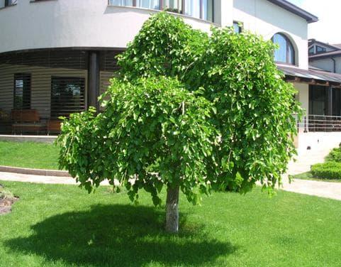 шаровидное деревце шелковицы