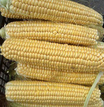 восковидная кукуруза