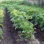 чем обработать картофель от фитофторы