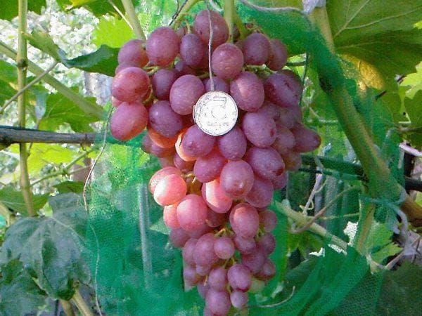 Виноград кардинал описание сорта фото отзывы